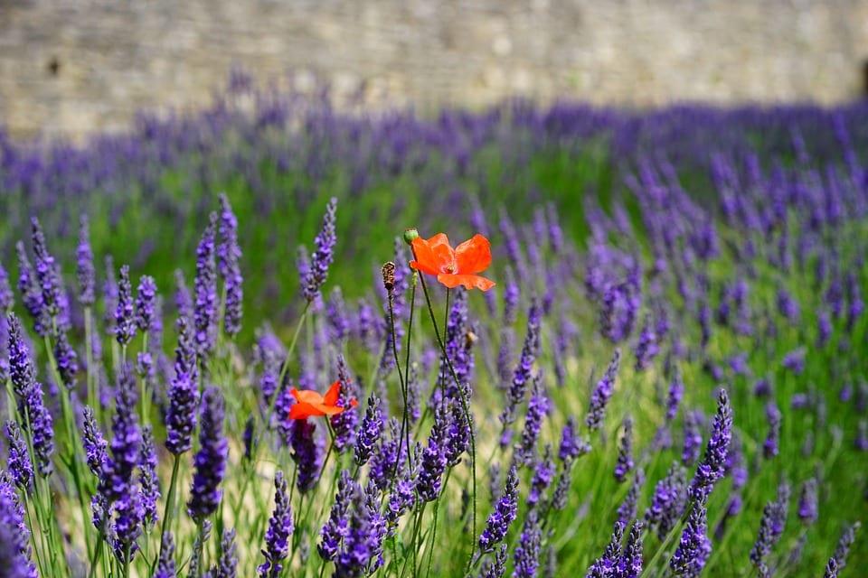 lavender-flowers-1469757_960_720