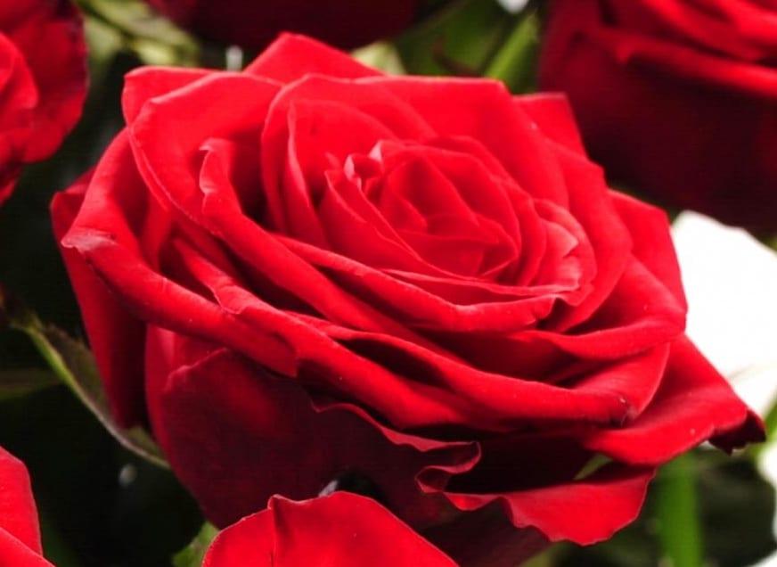 Dlouze a hojně kvetoucí růže