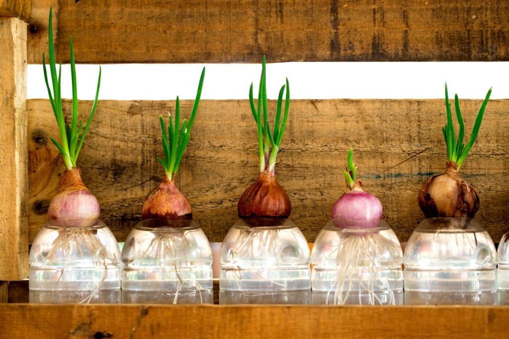 Hydroponické pěstování rostlin: jeho výhody a možnosti