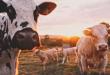 Automatický krmný systém ušetří farmářům spoustu práce