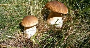 Správné sušení hub