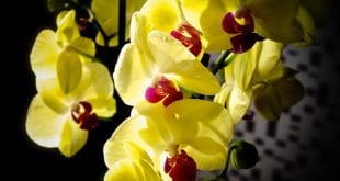 Orchideje jsou ozdobou interiéru, ale jak se o ně starat?